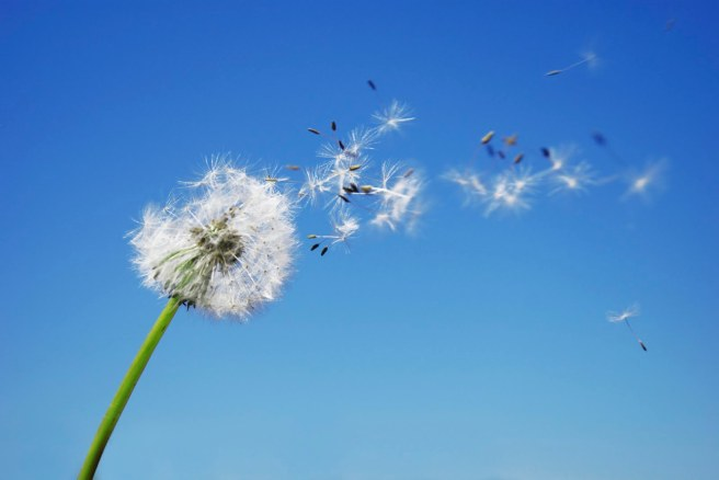 Dandelion blowing in the wind